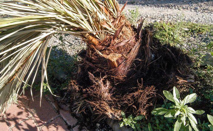 El picudo mata una palmera en Segorbe